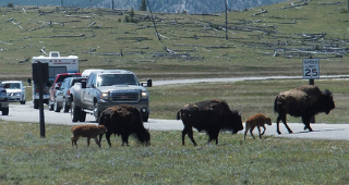 project-blocked-by-buffalo-in-road