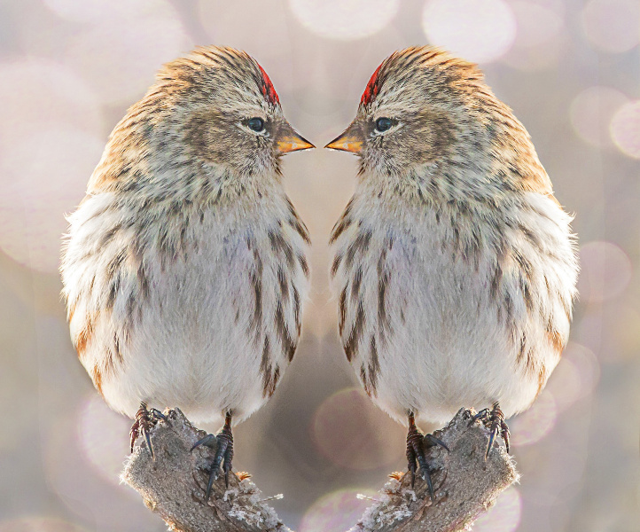 duplicate birds.