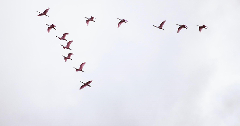 Birds migrating south for the winter.